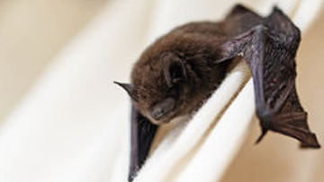 Bat clinging onto window curtains.