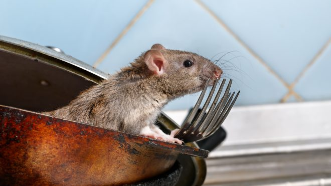 Rat in a rusty pan on top of some forks.