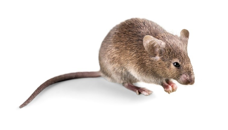 An image of a mouse.