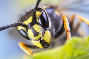 A close up of a Yellow Jacket.