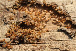 Image of termites are on wood flooring.